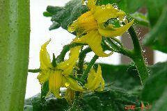 4・大玉トマトおどりこの花、もしかしたらホーム桃太郎。クリックすると大きくなります。r