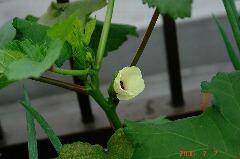 島オクラの花がが咲きました!もうすぐ定植から一月です。クリックすると大きくなります。r