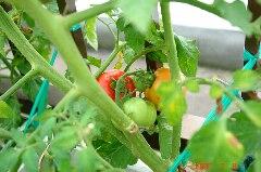 小さいけど大玉トマトのおどりこ。クリックすると大きくなります。r