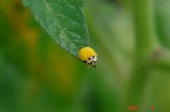 黄色いちっちゃなテントウムシ。クリックすると大きくなります。r