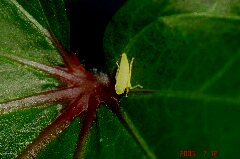 オクラの葉っぱに定住中。クリックすると大きくなります。r