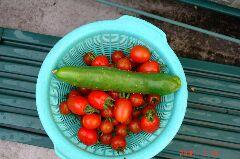 昨日の収穫、ミニトマトが一杯取れました。クリックすると大きくなります。r