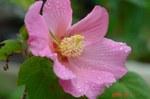 5輪目の芙蓉の花