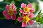 紅香、続々開花
