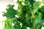 菜花の脇芽