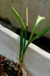 行者ニンニクの花芽2