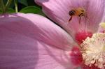 芙蓉とミツバチ2