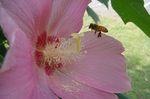 芙蓉とミツバチ3