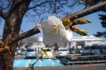桜開花10時