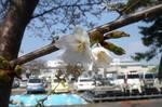 桜開花12時