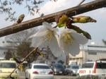 桜開花3時