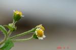 掃き溜め菊