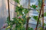絹サヤの花
