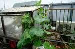 水耕栽培きゅうり