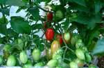 水耕栽培ミニトマト、アイコ3