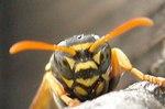 アシナガ蜂8