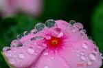 日日草に水滴2