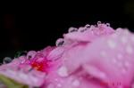 日日草に水滴3
