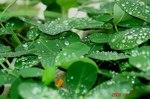 落花生に水滴2