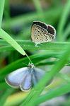 シジミ蝶のプロポーズ