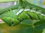 ナミアゲハの終令幼虫2