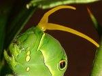 ナミアゲハの終令幼虫、臭角2