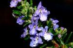 雨とローズマリーの花1