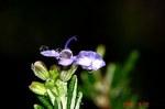 雨とローズマリーの花2