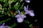 雨とローズマリーの花3