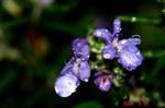 雨とローズマリーの花4