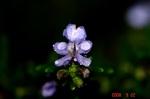雨とローズマリーの花5