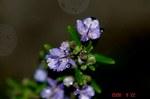雨とローズマリーの花6