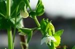 スナップエンドウの白い花