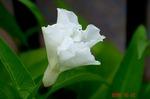 空芯菜の花1