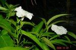 空芯菜の花4