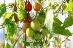 水耕栽培ミニトマト、アイココ
