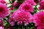 鉢植え菊と雨粒1