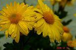 鉢植え菊と雨粒2