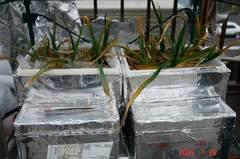 水耕栽培のにんにく。クリックして大きくしてくださいね。r1
