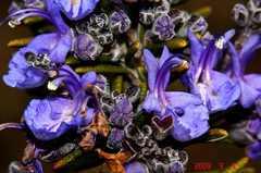 ローズマリーの花。クリックして大きくしてくださいね。r1