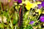 ツマグロヒョウモンチョウの幼虫。クリックして大きくしてくださいね。r1