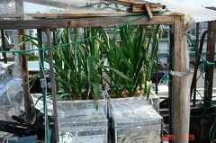 水耕栽培多摩式ホワイトニンニク。クリックして大きくしてくださいね。r1