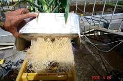 水耕栽培多摩式ホワイトニンニクの根っこ。クリックして大きくしてくださいね。r1