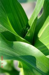 トウモロコシの雄花。クリックして大きくしてくださいね。r1