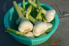 水耕栽培のニンニクを収穫。クリックして大きくしてくださいね。r1