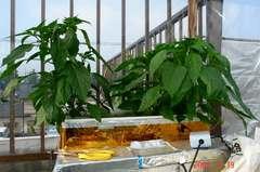 水耕栽培の甘とう美人。クリックして大きくしてくださいね。r1