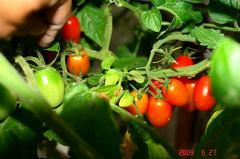水耕栽培のアイコ、赤くなってます。クリックして大きくしてくださいね。r1