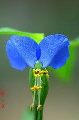 ツユクサの花。クリックして大きくしてくださいね。r1