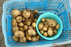 ジャガイモ収穫。クリックして大きくしてくださいね。r1