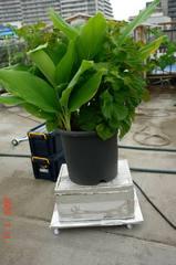 底面給水型の鉢植え。クリックして大きくしてくださいね。r1